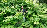 Japanse Duizendknoop planten ook in Valkenswaard